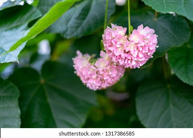 Pink Snowball - Dombeya cayeuxii blooming with pink flowers.