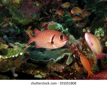Pink soldierfish on the reef