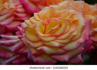 Pink sorbet roses