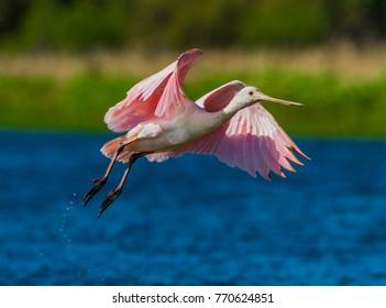 Pink spoonbill flying