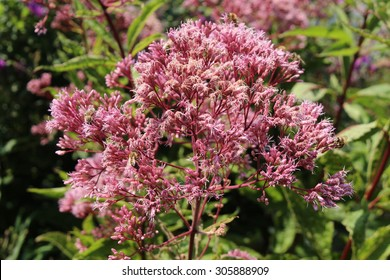 "Pink ""Spotted Joe-Pye Weed"" flowers in Innsbruck, Austria. Its scientific name is Eutrochium Maculatum, native to USA and Canada."