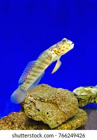 A pink spotted watchman goby (Cryptocentrus leptocephalus) perched on a rock in a saltwater aquarium, USA.