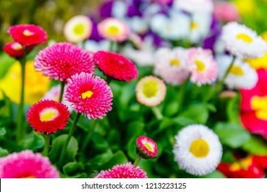 Pink Spring Bellis Daisy Flower