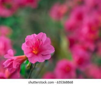 Pink Spring Blossom Close Up