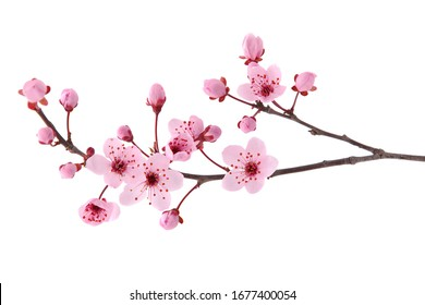 Pink spring cherry blossom. Cherry tree branch with spring pink flowers isolated on white - Shutterstock ID 1677400054