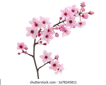 Pink spring cherry blossom. Cherry tree branch with spring pink flowers isolated on white - Shutterstock ID 1678245811