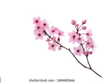 Pink spring cherry blossom. Cherry tree branch with spring pink flowers isolated on white