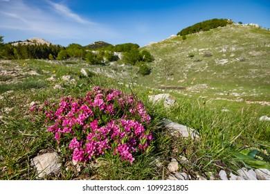Pink spring flowers along hiking path to mountain lodge Hahli?, Grobnik Alps near Rijeka, Croatia.