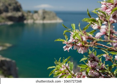 pink spring flowers on tree against sea
