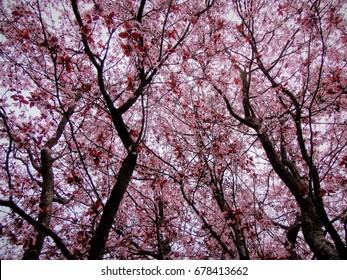 Pink Spring Forest