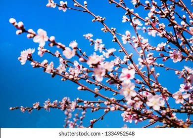 pink spring peach flowers against the blue sky on a sunny day, outdoors plantations in Spain