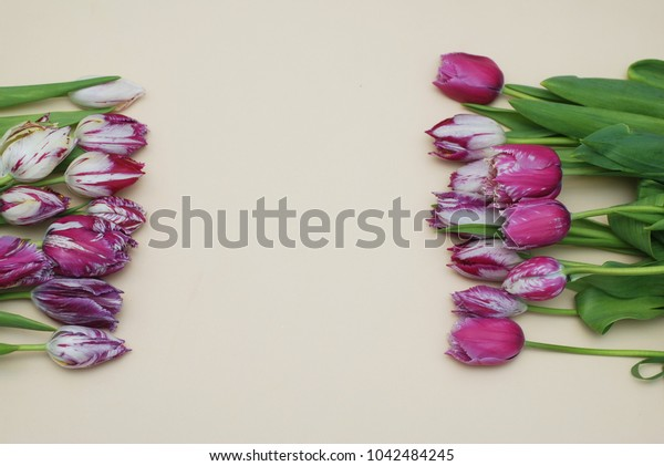 Pink Spring Tulip Flower Boquet Isoalted on Dark Background with Copy Paste. Fresh Beautiful Flowers on Neutral Background.