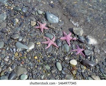 pink starfish on stony beach in Alaska