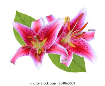 Pink Stargazer Lilies flowers isolated on white background