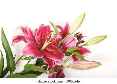Pink stargazer lily.