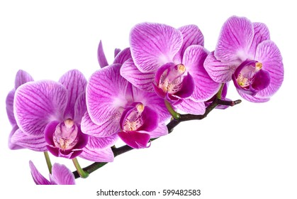 Pink streaked orchid flower isolated on white