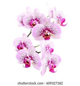 Pink streaked orchid flower, isolated on white background