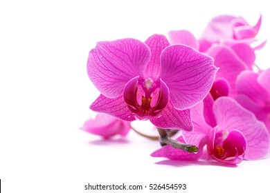 pink stripy phalaenopsis orchid