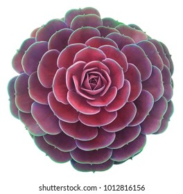 Pink Succulent Isolated