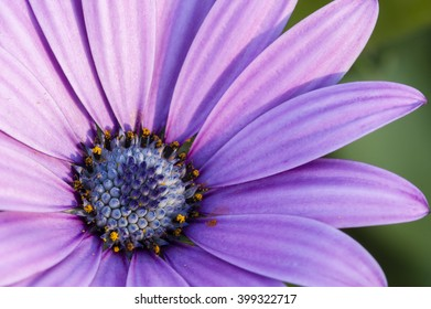 Pink sunflower daisy, Dimorphotheca, flower in full bloom