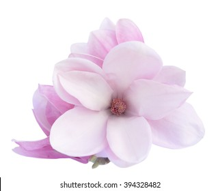 pink Susan magnolia flower isolated on white background