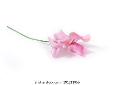 Sweet pea flower images stock photos vectors shutterstock pink sweet pea flowers isolated on white background mightylinksfo Image collections
