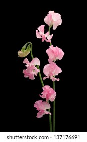 Pink sweet pea isolated on black background