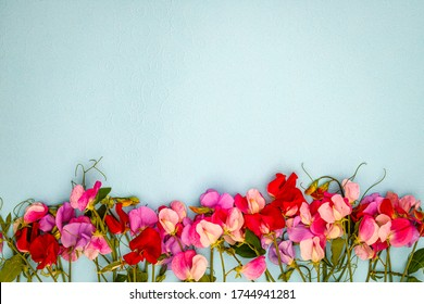 Pink sweet pea Lathyrus odoratus flowers and green leaves on blue background. Fashion floral frame backdrop, copy space, text place