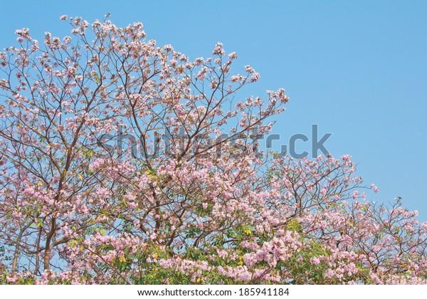 Pink Tabebuia Tree Blooming Against Blue Sky.