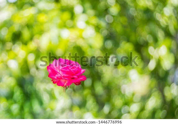 Pink tea rose floating green foliage background