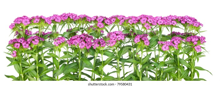 Pink terry european  carnation  flowers border isolated