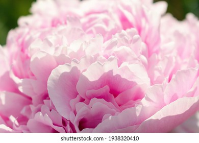 Pink terry peony close-up.Gardening and floriculture concept.Selective focus with shallow depth of field.