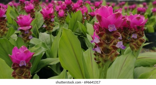 Pink Thai flowers in garden.Curcuma sessilis on nature.Members of the family are small to large herbaceous plants with distichous leaves with basal sheaths that overlap to form a pseudostem.