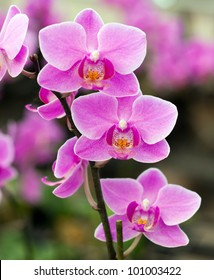 Pink Thai royal orchid
