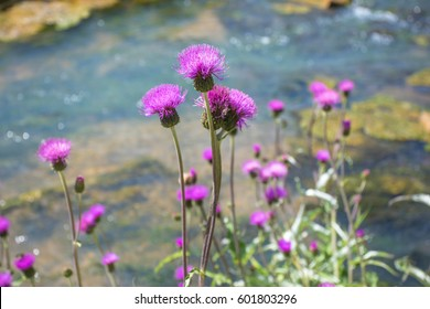 Pink thistle flower, Iceland.