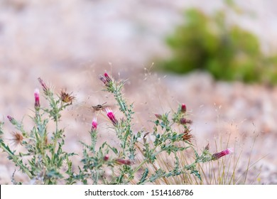 Pink thistle flowers and thorny plant at Paria view in Bryce Canyon National Park in Utah in evening with Shinx Hummingbird moth collecting nectar