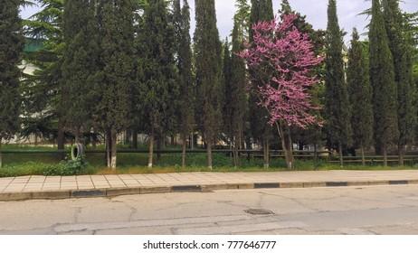 Pink tree among green, Crimea