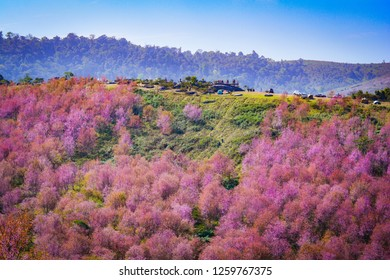 pink tree of cherry blossom or sakura flower - landscape mountain hill of wild himalayan cherry blooming on hill in winter at Phu Lom Lo Loei and Phitsanulok of Thailand