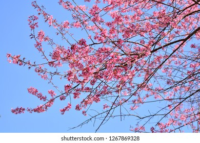 pink tree of cherry blossom or sakura flower - wild himalayan cherry blooming on hill in winter at Phu Lom Lo Loei and Phitsanulok of Thailand