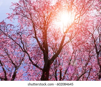 Pink tree flowers in sunlight springtime