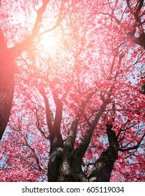 Pink tree flowers in sunlight springtime
