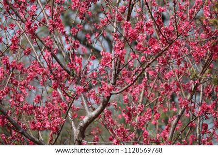 Pink Tree Texas Stock Photo Edit Now 1128569768 Shutterstock