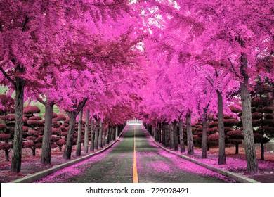 Pink tree,Road in Korea