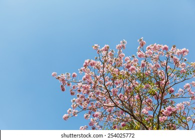 Pink trumpet flower and blue sky,Thailand