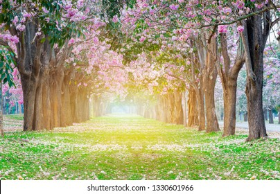 Pink trumpet flowers blooming romantic tunnel tree with orange light of the sunrise.