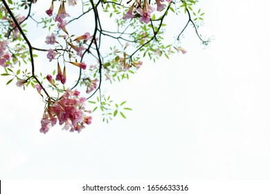 Pink trumpet with tiny green leave on branch tree  isolated background
