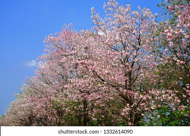 Pink trumpet tree blooming and blue sky background.