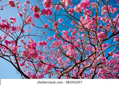 pink trumpet tree blossom and blue sky
