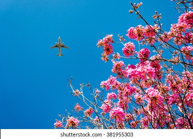 pink trumpet tree blossom and blue sky with airplane