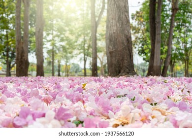 Pink trumpet tree flower blooming on morning with sunlight and have falling on ground like carpet , romantic tunnel pink flower for lover.